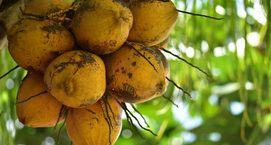 What Is so Amazing About Coconuts?